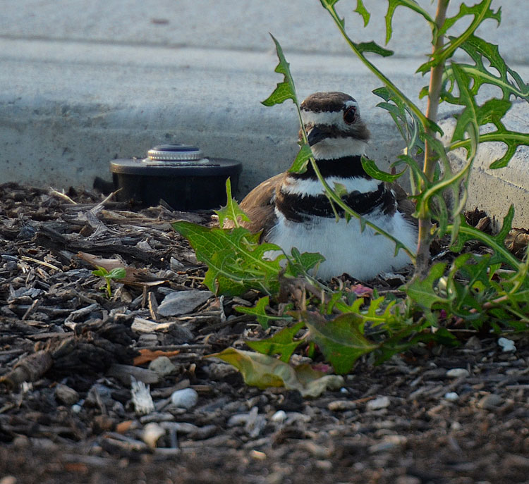 A Killdeer parent sitting on a nest tucked into a mulch bed alongside a sidewalk.