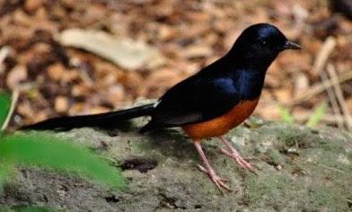 4 Tips Dan Cara Merawat Burung Murai Batu Muda Hutan Supaya Cepat Jinak Bunyi
