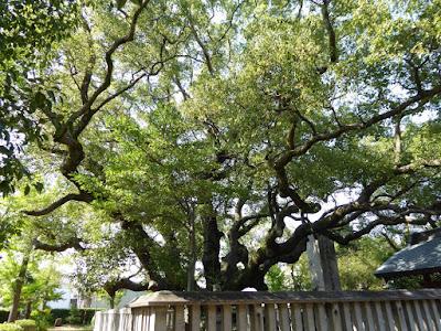 小楠公御墓所の楠