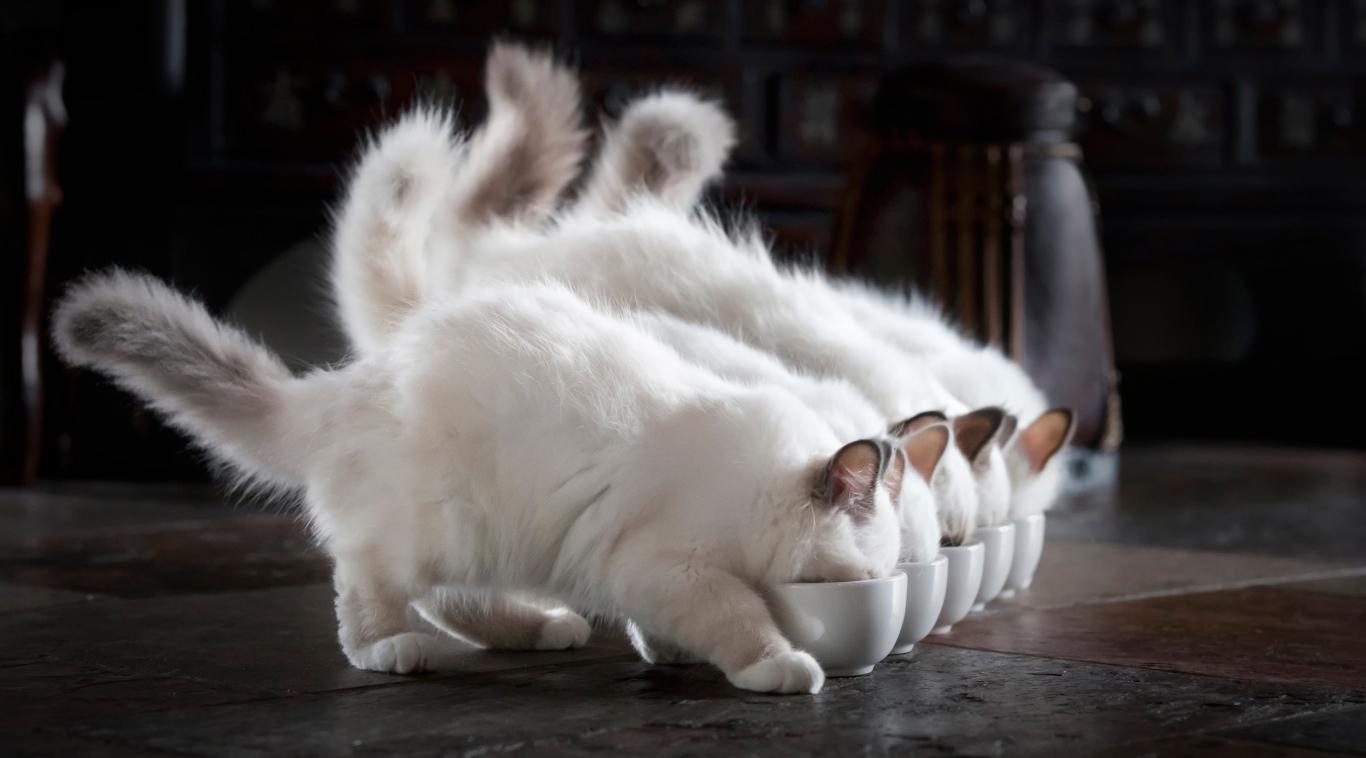 Cara Merawat Kucing Anggora Dan Tips Menilah Jenis Kucing Anggora Galur Murni bulu halus dna makan kucing super hot dna manis