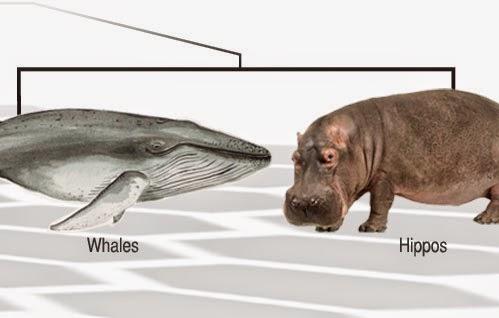 wieloryby i hipopotamy