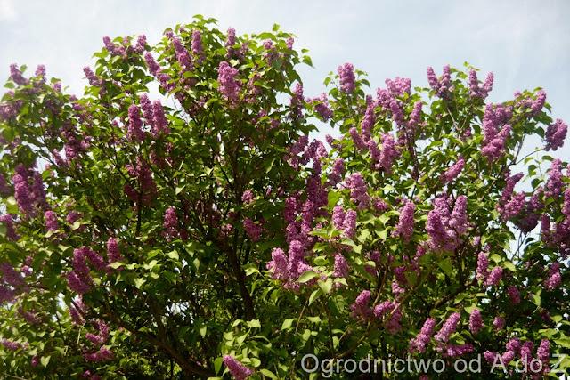 Lilak, bez, kwiaty wiosny, krzewy kwitnące wiosną