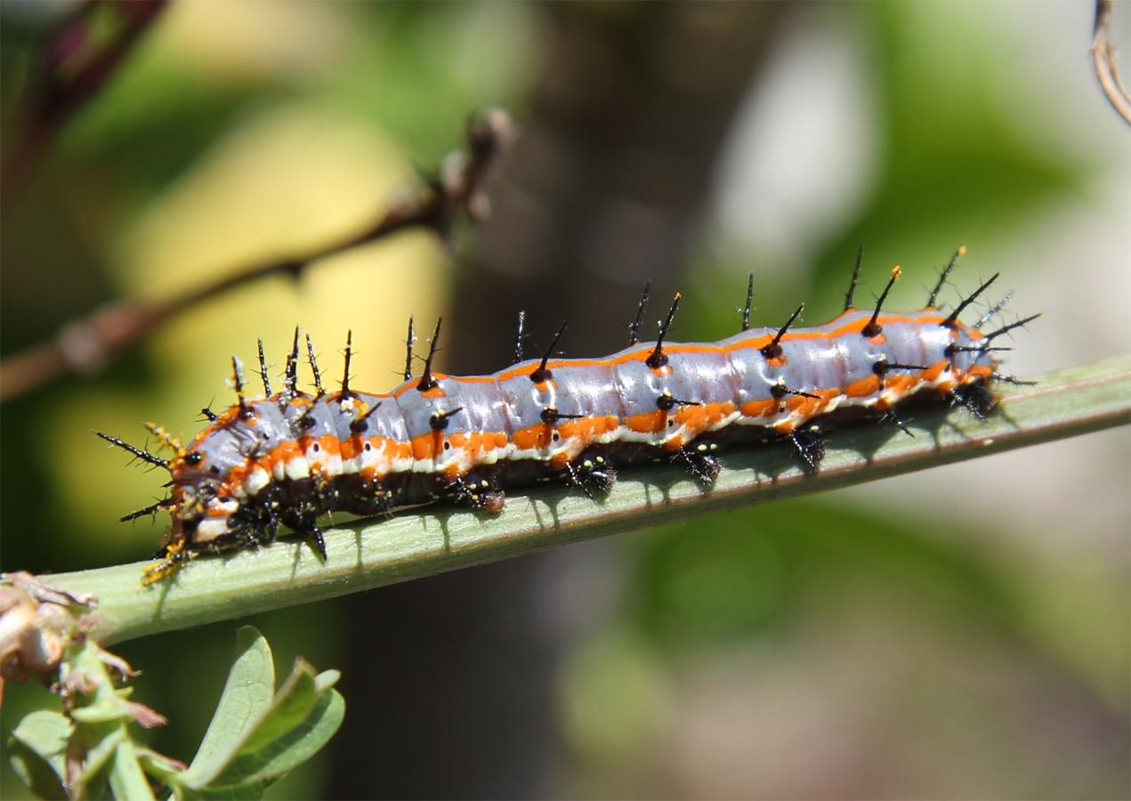 vanessa butterfly larvae - HD1271×900