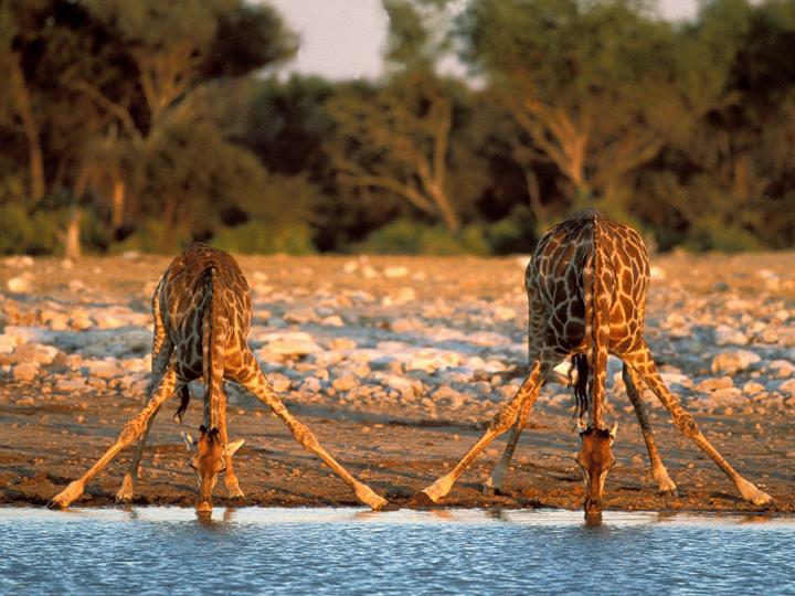 vahşi afrika savanlarında zürafa fotoğrafları