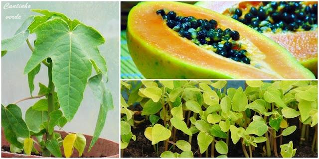 Cultivo da planta do mamão e da papaia (mamoeiro)