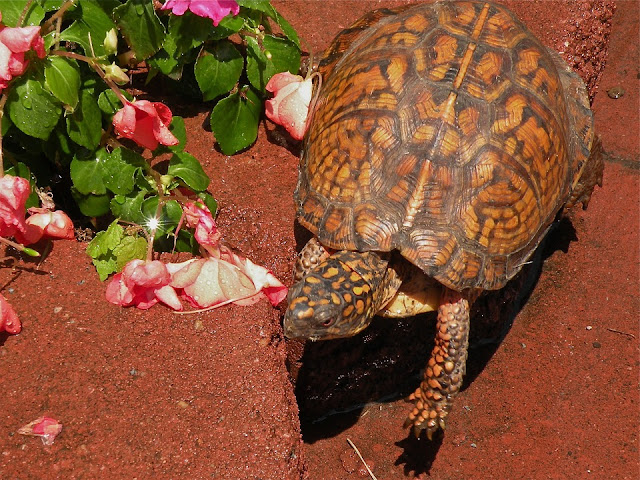 Image: Box Turtle, by Stephanie Henkel on Pixabay