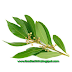 This LEAF helps in the TREATMENT of DIABETES & CALCULUS(Pathri)