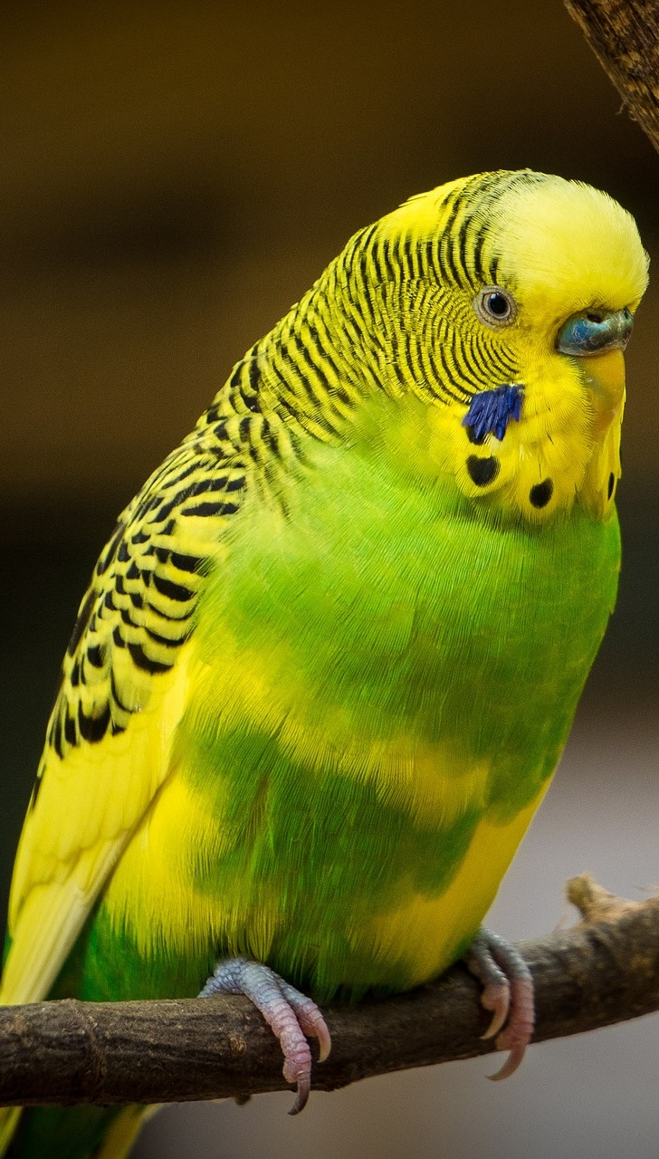 Picture of a colorful budgerigar.