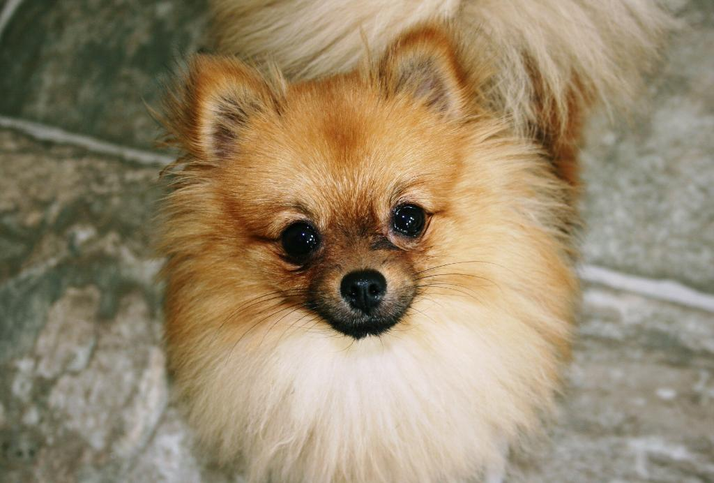 pomeranian papillon cute dogs papillon pomeranian mixed dog 2784