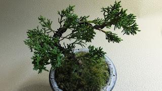 真柏のミニ盆栽