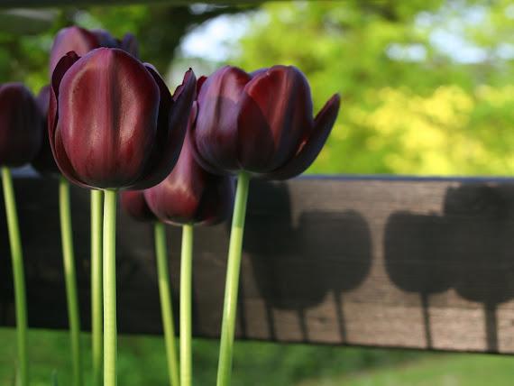 Crni tulipani download besplatne pozadine za desktop 1600x1200