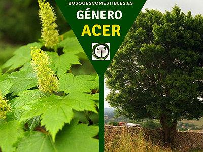 Lista de arboles en la Península del Género Acer comúnmente llamados Arces
