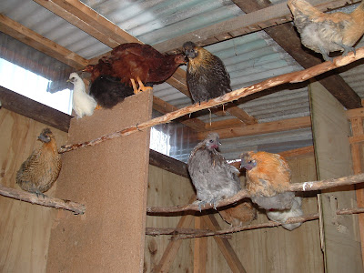 Some of my chickens in a house Steve built for them