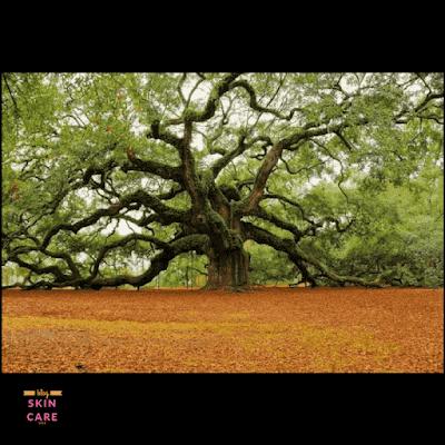 شجرة العود