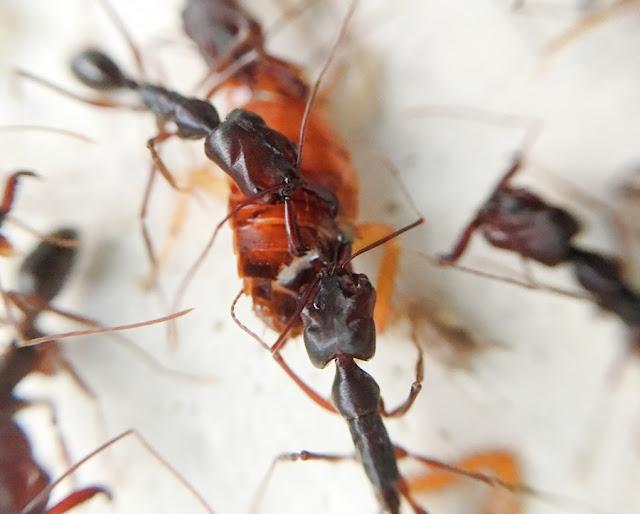 高山鋸針蟻 Odontomachus monticola - 螞蟻軍團 ANTS SQUAD