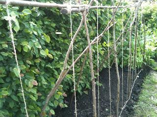 gardening, growing vegetables, runner beans, life on pig row
