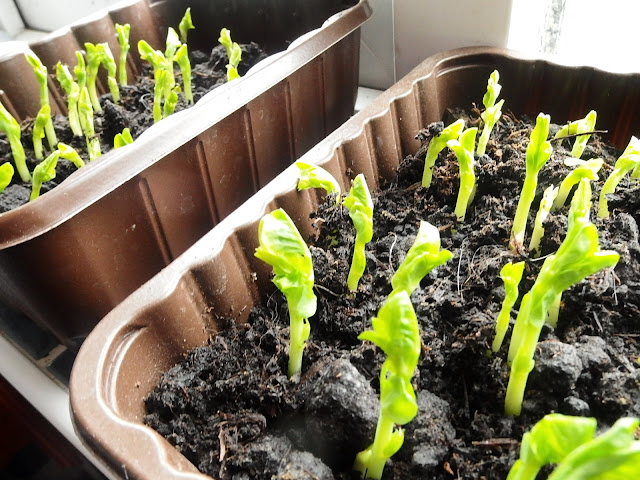 New pea shoots on our windowsill