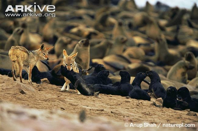 jackals and Fur seal