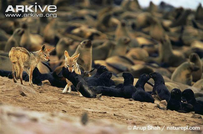 jackals and Fur seal