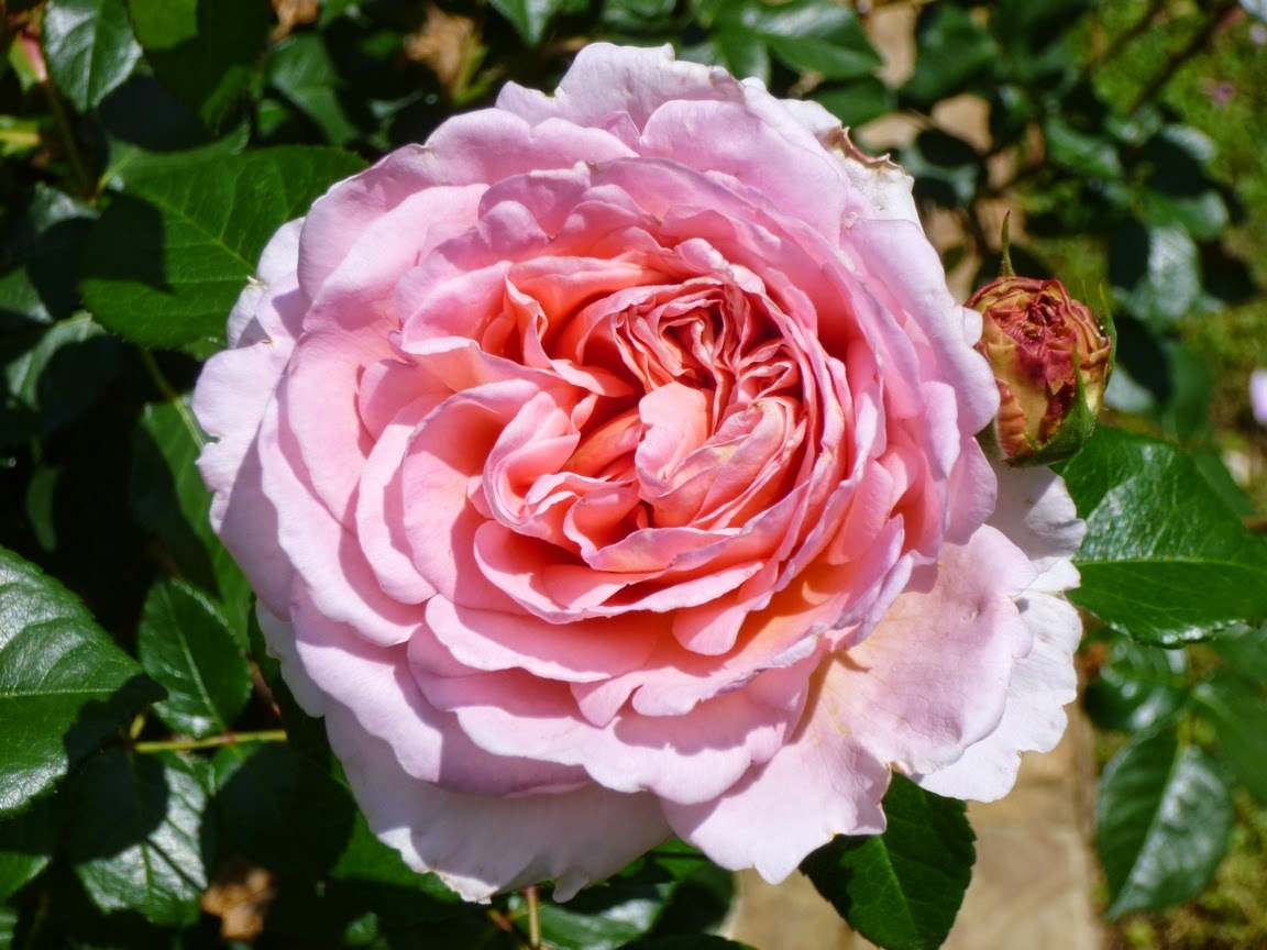 Abraham Darby, David Austin English Rose