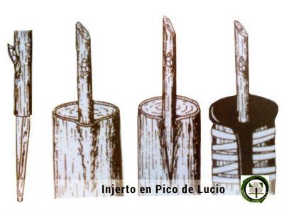 El Injerto en Pico de Lucio es un  Injerto de Púa muy similar al de corona y caballo