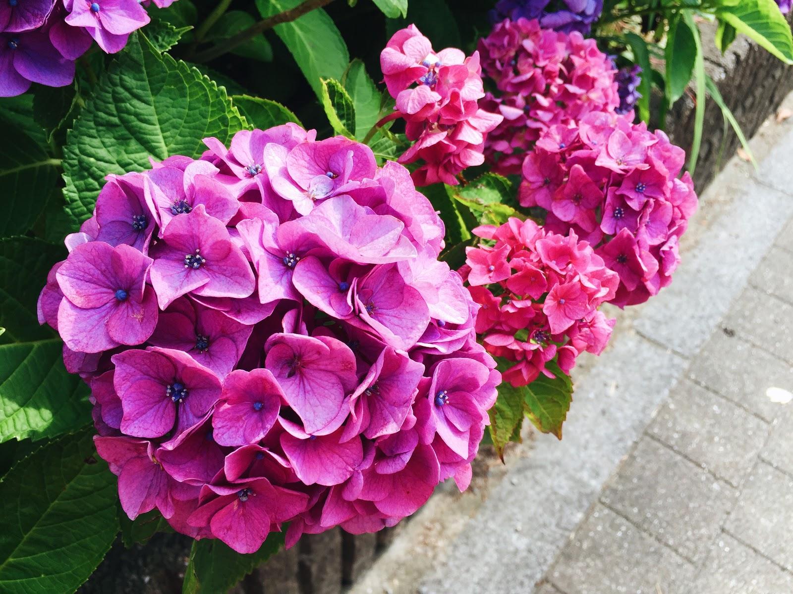 紫陽花 Ajisai Portal Bj