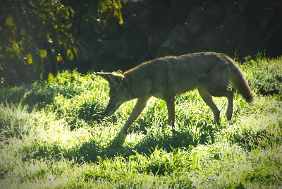 coyote on the ranch