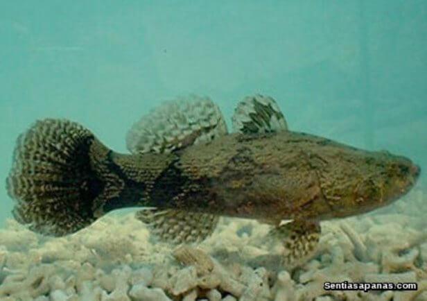 Ikan Ketutu