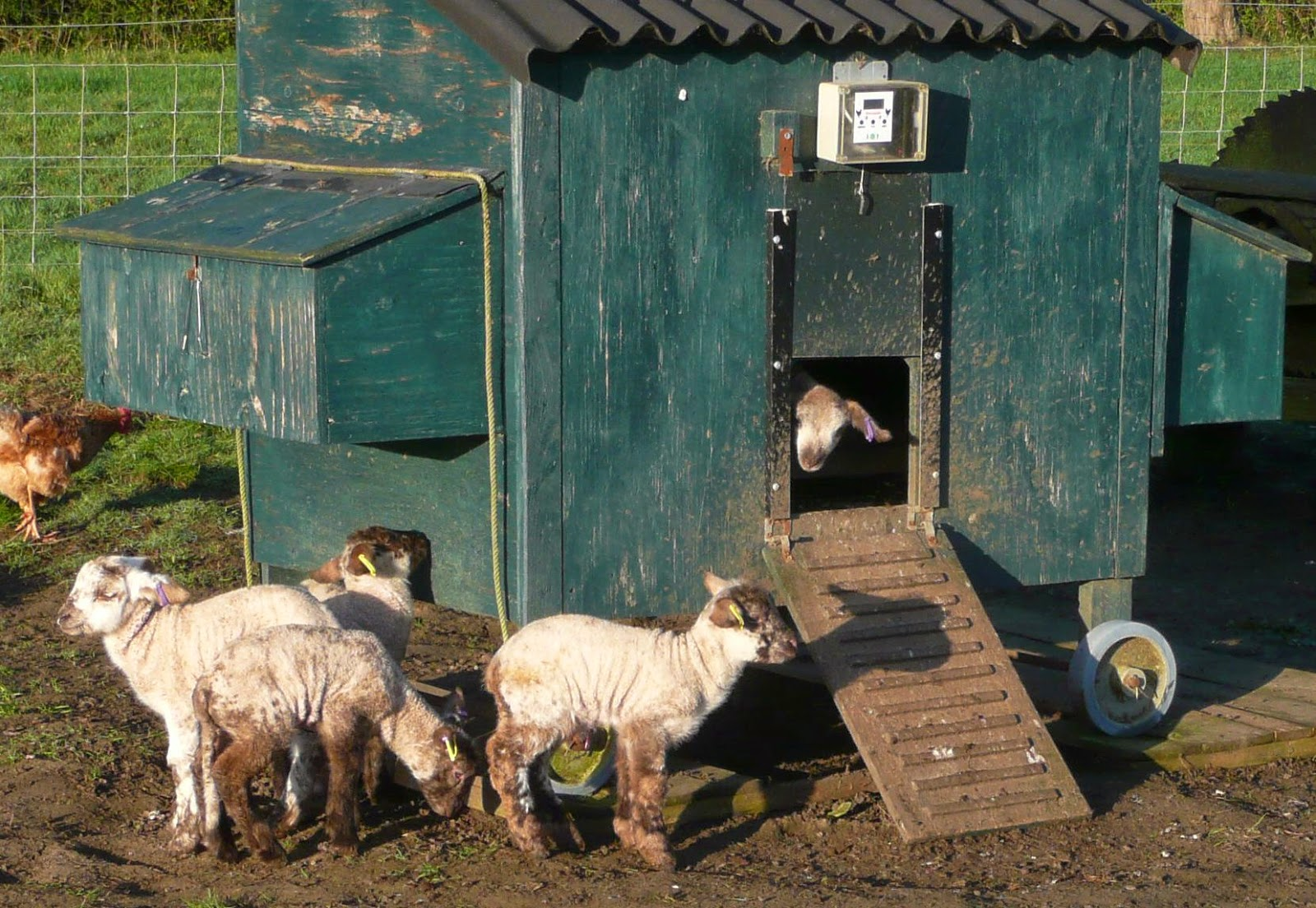Lambs have moved into the HenSafe chicken coop! Am thinking they need their own enclosure now..... www.smallholderjournal.blogspot.com