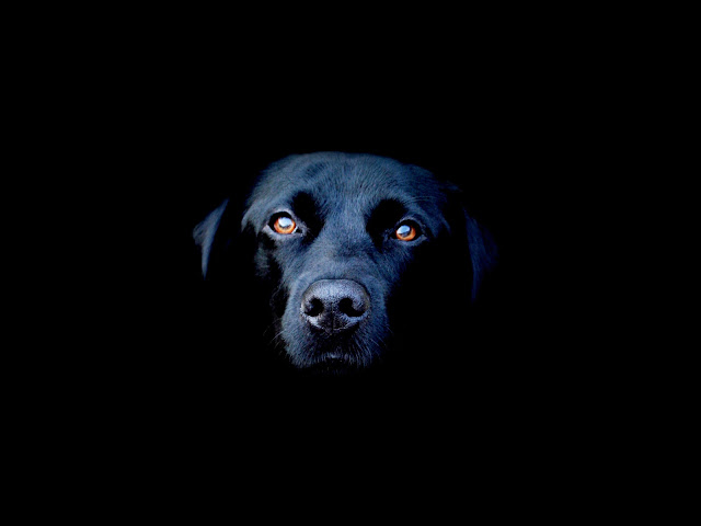 Full High Quality (HQ) Black Dogs Wallpapers and Pictures
