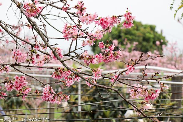 台中新社|2019新社興社街大排富士櫻|新社賞櫻秘境