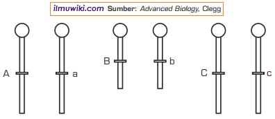 Letak gen pada kromosom yang tidak homolog