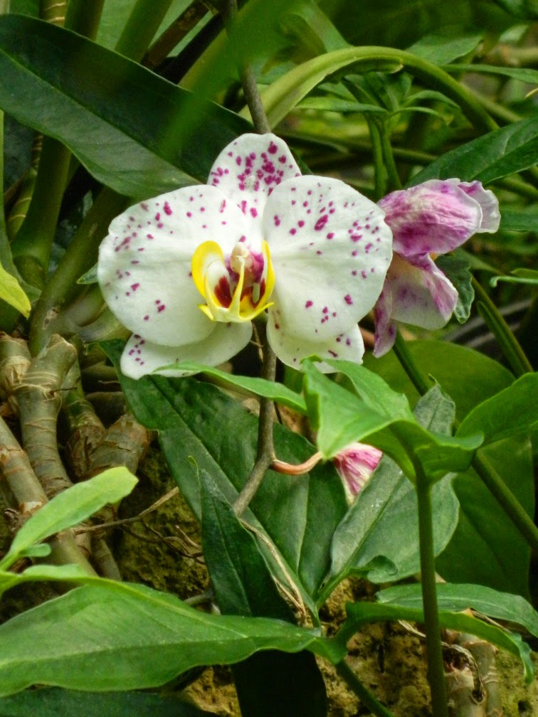 Purple spotted white Phalaenopsis Moth Orchid Centennial Park Conservatory by garden muses-not another Toronto gardening blog