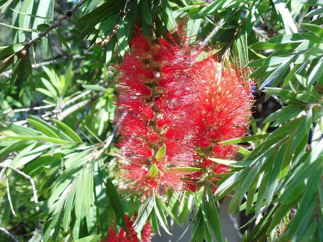 Kayu Putih Bunga Merah  ( Melaleuca leucadendra )