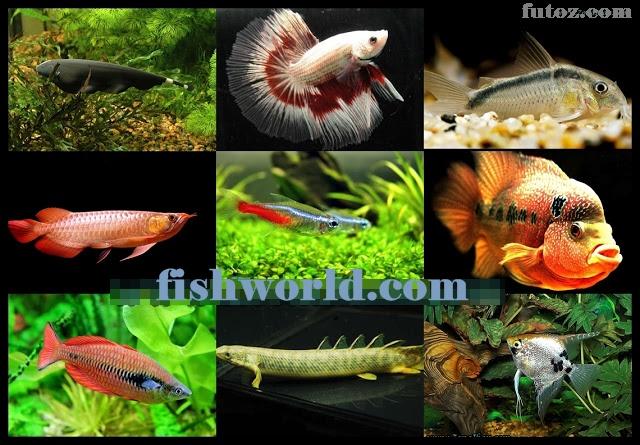 Types of Freshwater Ornamental Fish | FISH WORLDs.com