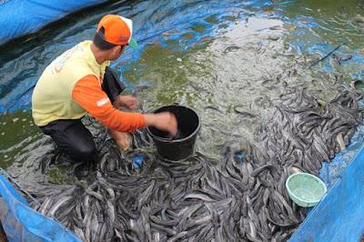 Anda Perlu Mengetahui Masa Panen Ikan Lele Dalam Peluang Usaha Ternak Lele