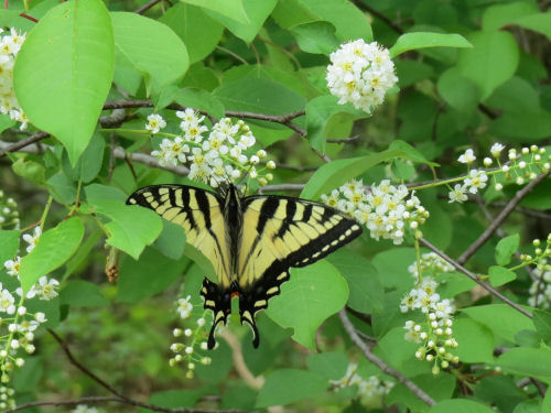 tiger swallowtail butterfly on wild black cherry blossoms
