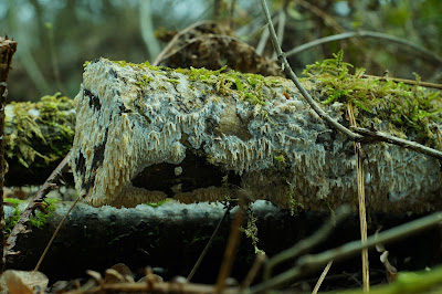 Ege-tandsvamp Lat: Hyphodontia quercina