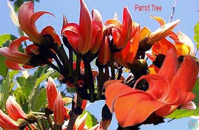 parrot tree flower, parrot tree