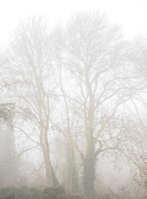 Copse of ash trees shrouded in mist