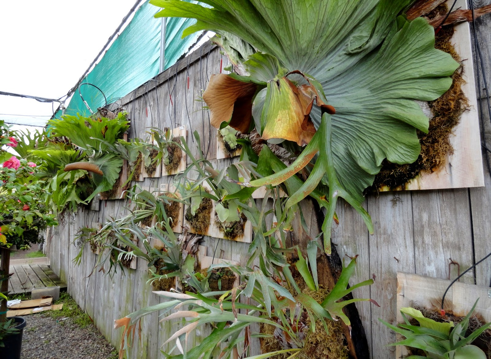 I M Still Not In Love With The Staghorn Ferns