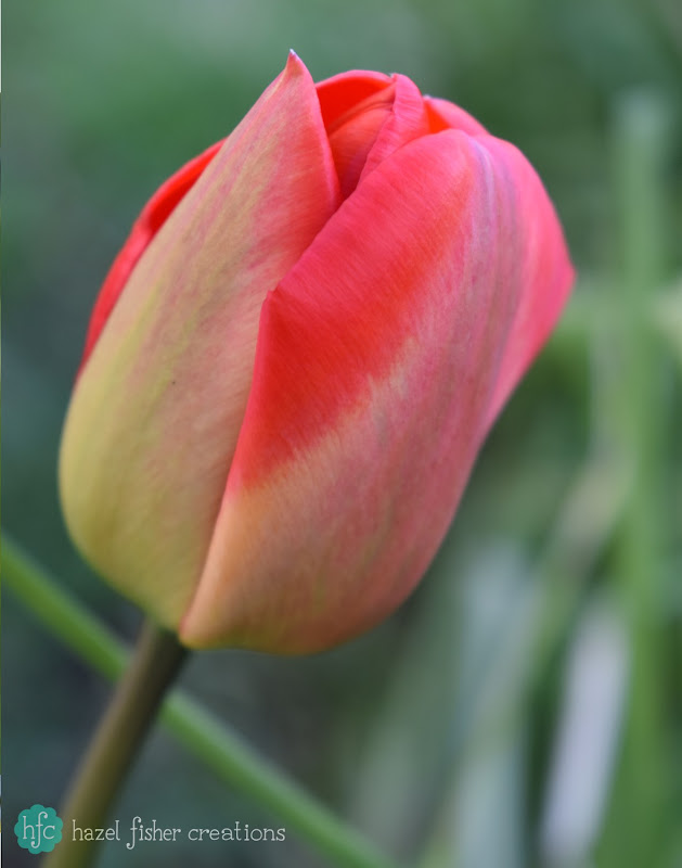 Things I Love About Spring, spring bulbs tulip -hazelfishercreations