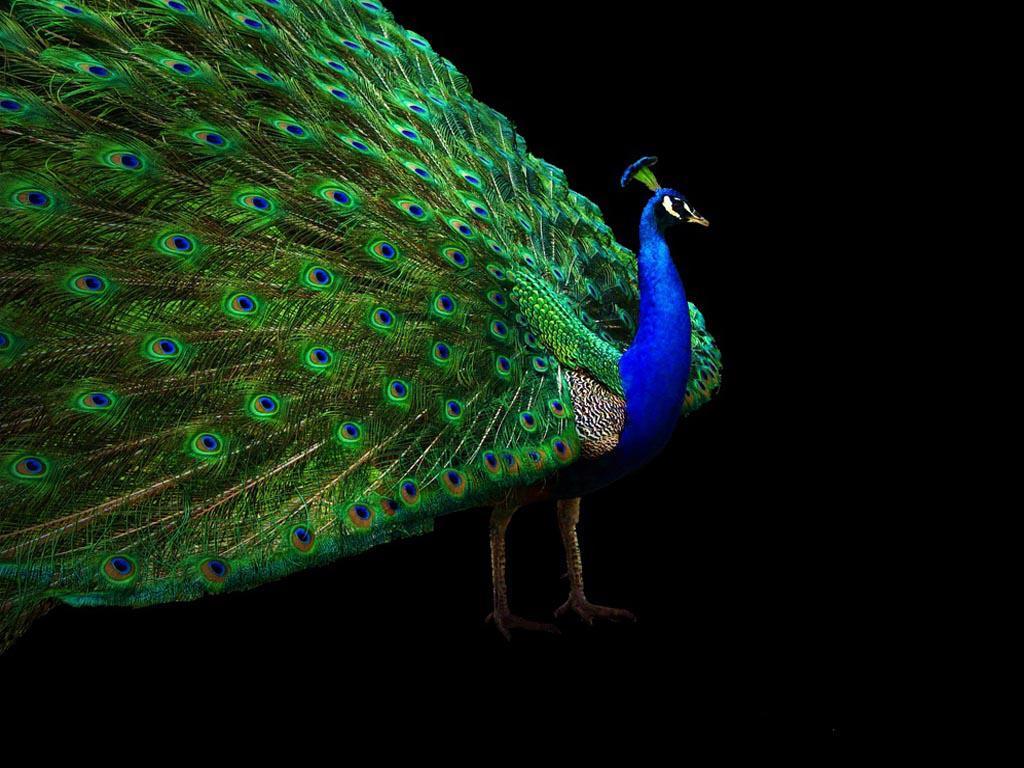 White Blue Peacock Wallpaper 4559 Usbdata
