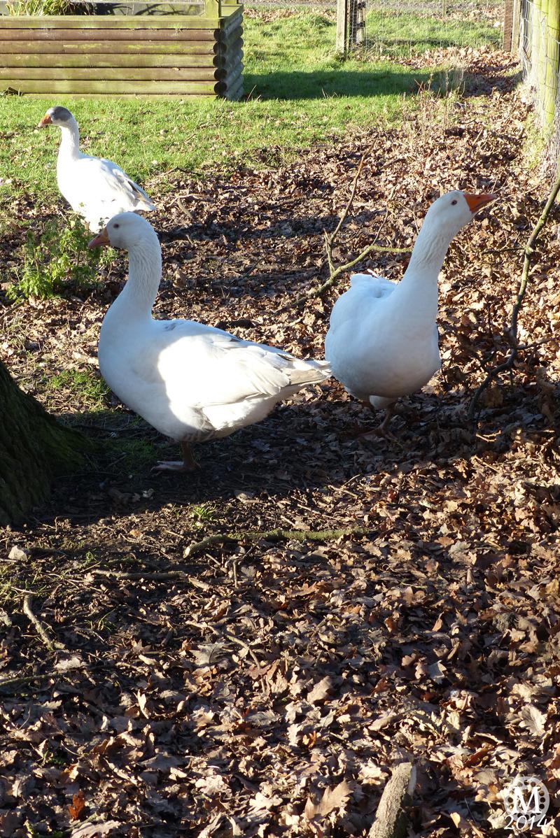 Ducks at Foxborough Farm, Hainault Forest Country Park