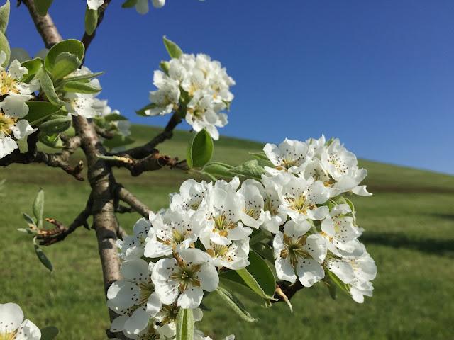 Apfelblüte von nah