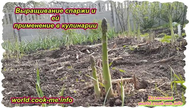 Выращивание спаржи и её применение в кулинарии