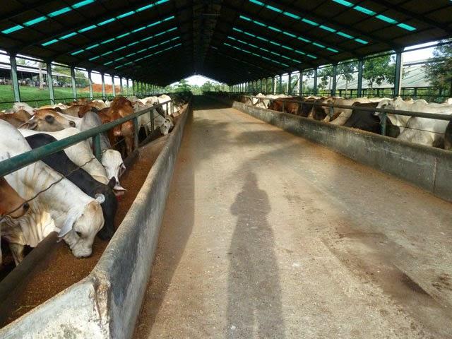 Penggemukan Sapi Sistem Dry Lot Fattening