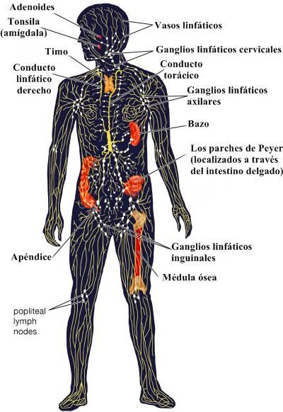 Sistema linfático: circulación, inmunidad, órganos y enfermedades del sistema linfático