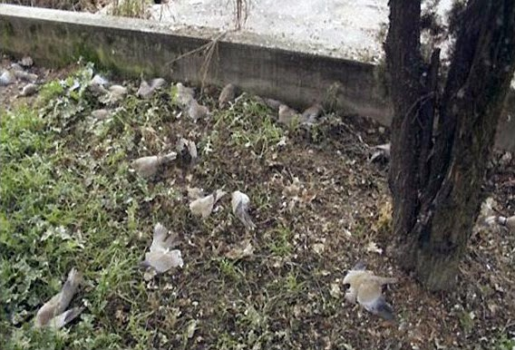 Mass suicides/killings of the birds in Jatinga