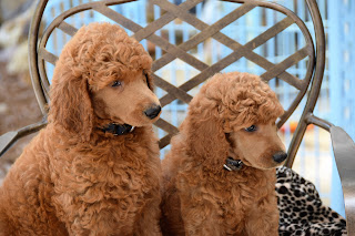 Poodle-Puppies